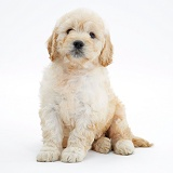 Miniature Goldendoodle pup, 7 weeks old, sitting