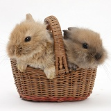 Two baby Lionhead-cross rabbits in a wicker basket