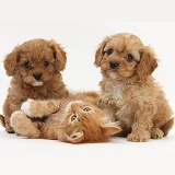 Cavapoo pups and ginger kitten