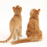 Two ginger kittens, back view