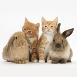 Ginger kittens and young Lionhead-Lop rabbits