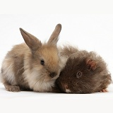 Baby Lionhead-Lop rabbit and shaggy Guinea pig