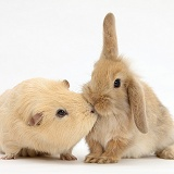Yellow Guinea pig and baby Sandy Lop rabbit