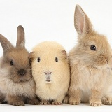 Yellow Guinea pig and baby Sandy Lop rabbits
