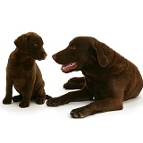 Chesapeake Bay Retriever and puppy