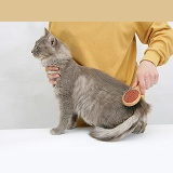 Grooming a Maine Coon cat with a brush