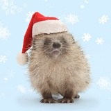 Baby Hedgehog wearing a Santa hat