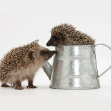 Baby Hedgehogs in a little metal watering can