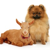 Red Pomeranian dog and goat kid