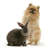 Pomeranian and Blue Rex rabbit