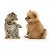 British Shorthair kitten and Pomeranian pup