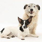 Jack Russell and Jack Russell-cross