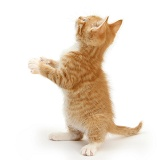 Ginger kitten standing and reaching up