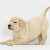 Yellow Labrador pup, 7 weeks old, in play-bow