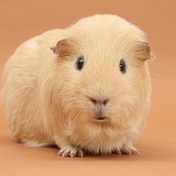 Yellow Guinea pig