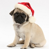 Fawn Pug pup, 8 weeks old, wearing a Santa hat