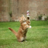 Ginger kitten swiping at a soap bubble