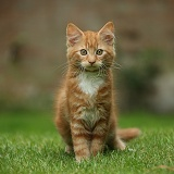 Ginger kitten sitting on a lawn