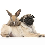 Fawn Pug pup, 8 weeks old, and young rabbit