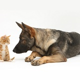 Alsatian and ginger kitten
