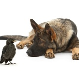 Alsatian and young Jackdaw
