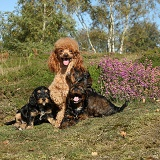 Red toy Poodle dog and his Cockapoo pups