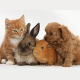 Ginger kitten with Cavapoo pup, rabbit and Guinea pig
