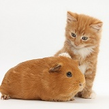 Ginger kitten, 7 weeks old, and red Guinea pig