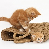 Ginger kittens playing in a raffia bag