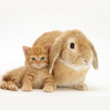 Ginger kitten with sandy Lop rabbit