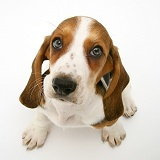 Basset pup looking up