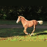 Warmblood foal galloping