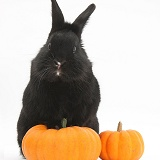 Black rabbit and pumpkins