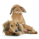 Dachshund and Sandy lop rabbit