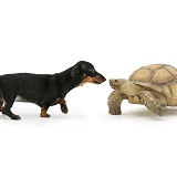 Dachshund and tortoise