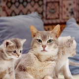 Grey mother cat and kittens with cushions