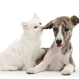 Brindle-and-white Whippet pup and white kitten