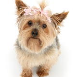 Yorkie with a bow in her hair
