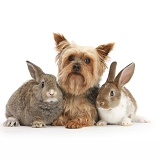 Yorkie and two young rabbits