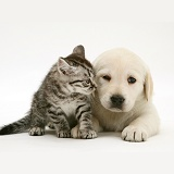Yellow Goldador Retriever pup with silver tabby kitten