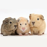 Baby Guinea pigs and Golden Hamster