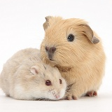 Baby Guinea pig and Russian Hamster