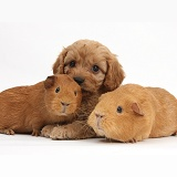 Cavapoo pup, 6 weeks old, and red Guinea pigs