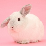 White Lop rabbit on pink background