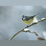 Blue tit in snow