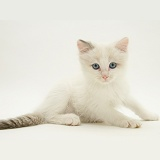 Blue-eyed Ragdoll kitten