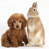 Apricot miniature Poodle pup and rabbit