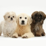 Golden Retriever pup with two Shih-tzus