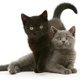 British Shorthair blue and black kittens