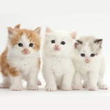 White, colourpoint, and ginger-and-white kittens
